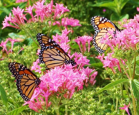 monarch with flowers